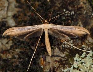 Oidaematophorus giganteus 06 3