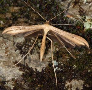 Oidaematophorus giganteus 06 5