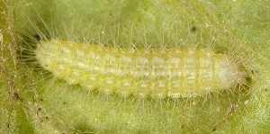 Oidaematophorus giganteus L3 1