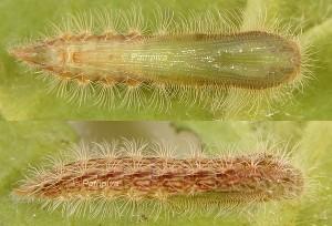Oidaematophorus giganteus c 1