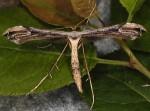 Oidaematophorus lithodactyla 06 1