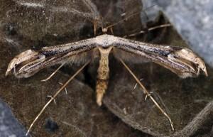 Oidaematophorus lithodactyla 06 2