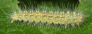 Oidaematophorus lithodactyla L4 06 1