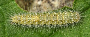 Oidaematophorus lithodactyla L4 06 2