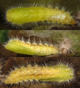 Oidaematophorus lithodactyla chrysalide 06 1