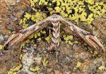 Oidaematophorus rogenhoferi 06 1