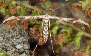 Oidaematophorus rogenhoferi 06 2