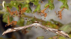 Oidaematophorus rogenhoferi 06 3