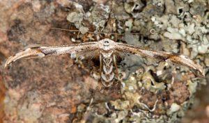 Oidaematophorus rogenhoferi 06 5