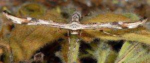 Oidaematophorus rogenhoferi 06 6