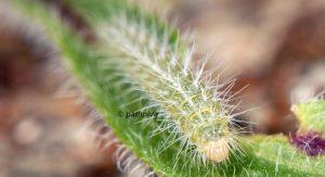 Oidaematophorus rogenhoferi L4 06 2