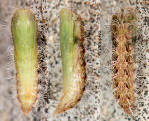 Oidaematophorus rogenhoferi chrysalide 06 1