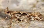 Ornativalva tamariciella (I, G)