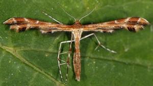 Oxyptilus chrysodactyla 66 1