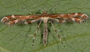 Oxyptilus parvidactyla 06 7