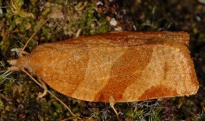 Pandemis cinnamomeana 4