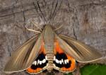 Castniidae