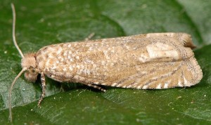 Pelochrista caecimaculana 73 1