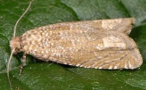 Pelochrista caecimaculana 73 2