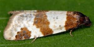 Periclepsis cinctana 66 1
