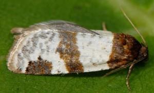 Periclepsis cinctana 66 3