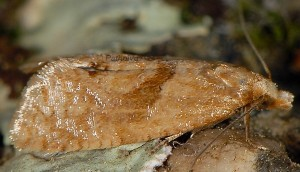 Phalonidia affinitana 2B 1