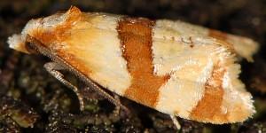 Phalonidia albipalpana 66