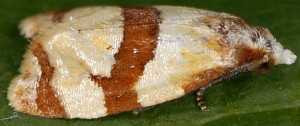 Phalonidia albipalpana 83 1