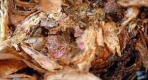 Phalonidia albipalpana attaque 83 1