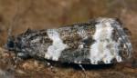 Phiaris bipunctana 06 1