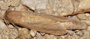 Phragmataecia castaneae 30 1
