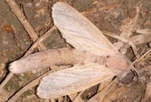 Phragmataecia castaneae 34 2