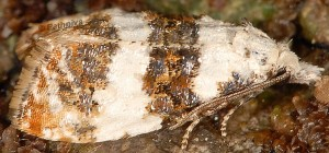 Phtheochroa duponchelana 13
