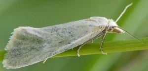 Phtheochroa frigidana femelle 66 1