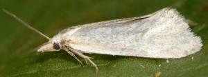 Phtheochroa frigidana femelle 66 2