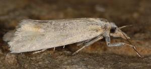 Phtheochroa frigidana femelle 66
