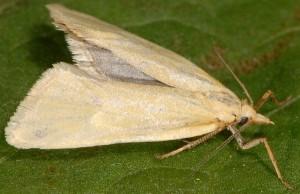 Phtheochroa frigidana mâle 66 1