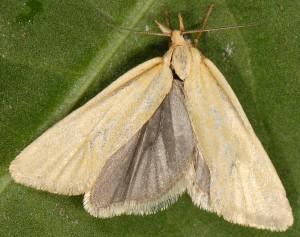Phtheochroa frigidana mâle 66 2