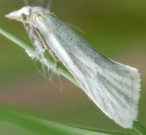 Phtheochroa frigidana mâle 66 5