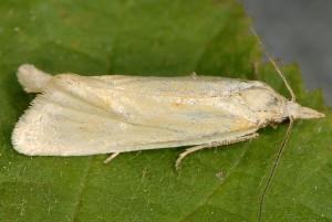 Phtheochroa frigidana mâle 66 6