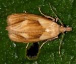 Phtheochroa inopiana 38 1