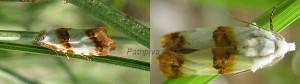 Phtheochroa purana 06 2
