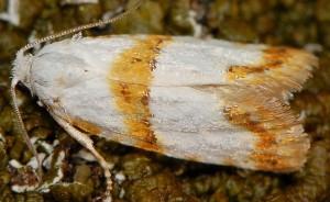 Phtheochroa purana 06 5