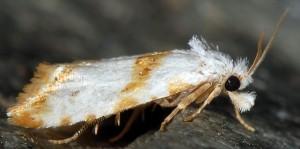Phtheochroa purana 06 6