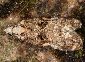 Phtheochroa rugosana 66 2