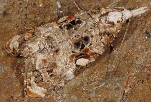 Phtheochroa rugosana 66 3