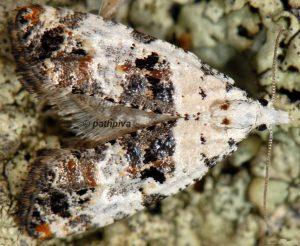 Phtheochroa sodaliana 05 3