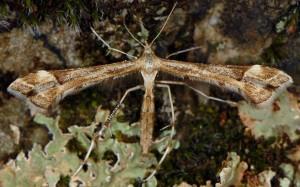Platyptilia calodactyla 06 2