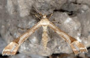 Platyptilia calodactyla 06 3