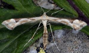 Platyptilia calodactyla 2B 1